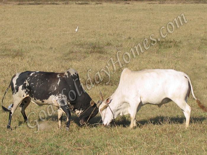Bull fight in Goa in Goa