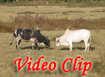 Video clip of Bull fight in Goa