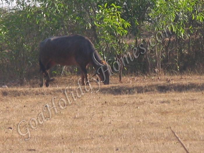 Bicholim in Goa