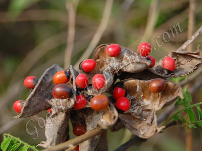 Wild Fruits & berries in Goa in Goa