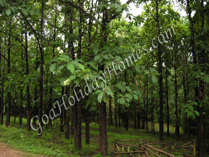 Goan Forests in Goa
